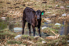 APRIL 22, 2017, RIDGWAY COLORADO: Angus Hereford cross breed cattle on Centennial Ranch, Ridgway, Colorado- a cattle ranch owned b Stock Photos