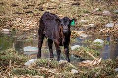22. APRIL 2017 RIDGWAY COLORADO: Angus Hereford-Kreuzzuchtvieh auf hundertjähriger Ranch, Ridgway, Colorado eine Viehranch besaß  stockfotos