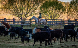 APRIL 22, 2017, RIDGWAY COLORADO: Cowboy herds cattle on Centennial Ranch, Ridgway, Colorado - a cattle ranch owned by Vince Kotny Royalty Free Stock Photography