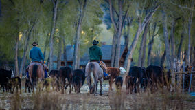 APRIL 22, 2017, RIDGWAY COLORADO: Cowboy herds cattle on Centennial Ranch, Ridgway, Colorado - a cattle ranch owned by Vince Kotny Royalty Free Stock Image