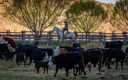 22. APRIL 2017 RIDGWAY COLORADO: Cowboy lebt Vieh auf hundertjähriger Ranch, Ridgway, Colorado - eine Viehranch in herden, die vo lizenzfreie stockfotografie