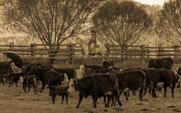 22. APRIL 2017 RIDGWAY COLORADO: Cowboy lebt Vieh auf hundertjähriger Ranch, Ridgway, Colorado - eine Viehranch in herden, die vo stockfotografie