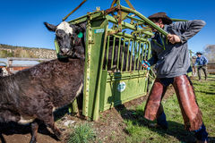APRIL 22, 2017, RIDGWAY COLORADO: Cowboy prepares to brand cattle on Centennial Ranch, Ridgway, Colorado - a ranch with Angus/Here Royalty Free Stock Photography