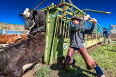 APRIL 22, 2017, RIDGWAY COLORADO: Cowboy prepares to brand cattle on Centennial Ranch, Ridgway, Colorado - a ranch with Angus/Here Royalty Free Stock Image