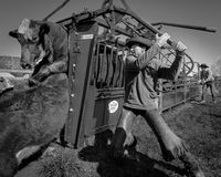 APRIL 22, 2017, RIDGWAY COLORADO: Cowboy prepares to brand cattle on Centennial Ranch, Ridgway, Colorado - a ranch with Angus/Here Stock Photos