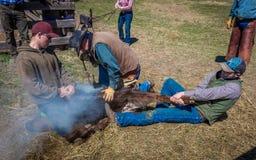 APRIL 22, 2017, RIDGWAY COLORADO: Cowboymärkesnötkreatur på den hundraårs- ranchen, Ridgway, Colorado - en ranch med det Angus/He arkivfoton