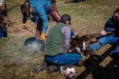 APRIL 22, 2017, RIDGWAY COLORADO: Cowboymärkesnötkreatur på den hundraårs- ranchen, Ridgway, Colorado - en ranch med det Angus/He royaltyfri foto