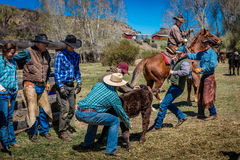 APRIL 22, 2017, RIDGWAY COLORADO: Cowboymärkesnötkreatur på den hundraårs- ranchen, Ridgway, Colorado - en ranch med det Angus/He royaltyfria bilder