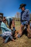 APRIL 22, 2017, RIDGWAY COLORADO: Cowboymärkesnötkreatur på den hundraårs- ranchen, Ridgway, Colorado - en ranch med det Angus/He royaltyfria foton