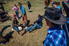 APRIL 22, 2017, RIDGWAY COLORADO: Cowboys brand cattle on Centennial Ranch, Ridgway, Colorado - a ranch with Angus/Hereford cross, Royalty Free Stock Photos