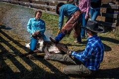 22. APRIL 2017 RIDGWAY COLORADO: Cowboys brandmarken Vieh auf hundertjähriger Ranch, Ridgway, Colorado - eine Ranch mit Angus-/He stockfotografie
