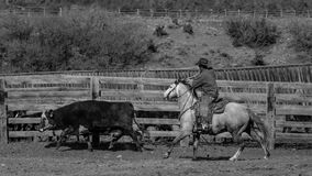 APRIL 22, 2017, RIDGWAY COLORADO: Cowboys practices roping cow for branding on Centennial  Ranch, Ridgway, Colorado  - a ranch wit. H Angus/Hereford cross breed Stock Photography