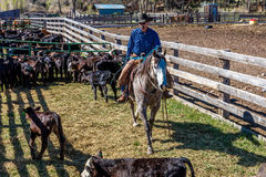 APRIL 22, 2017, RIDGWAY COLORADO: Cowboys  Royalty Free Stock Photography