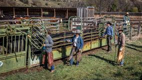 APRIL 22, 2017, RIDGWAY COLORADO: Cowboys vaccinate cattle before branding them on Centennial Ranch, Ridgway, Colorado - a ranch w Royalty Free Stock Image