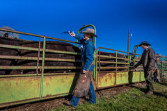 APRIL 22, 2017, RIDGWAY COLORADO: Cowboys vaccinate cattle before branding them on Centennial Ranch, Ridgway, Colorado - a ranch w. Ith Angus/Hereford cattle Stock Image