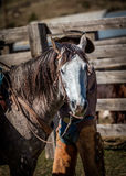 APRIL 22, 2017, RIDGWAY COLORADO: Horse with Cowboy's Hat in view at cattle branding exchange words, at Centennial Ranch, Ridgway, Royalty Free Stock Images