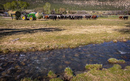 APRIL 22, 2017, RIDGWAY COLORADO: Rancher on Centennial Ranch, feeds cattle with tractor- a cattle ranch owned by Vince Kotny Stock Image