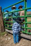 APRIL 22, 2017, RIDGWAY COLORADO: Unga cowboyklockor avlar märkesnötkreatur på den hundraårs- ranchen, Ridgway, Colorado - en ran Royaltyfria Bilder