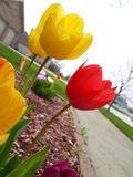 April Showers to May Flowers. Tulip spring flowers red yellow may nring april showers royalty free stock image