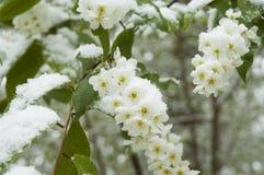 April snow on a spiraea shrub Stock Image