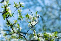 April vita flouers royaltyfri fotografi