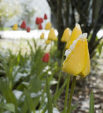 April weather. Yellow and red tulips in flowerbed, covered with snow Stock Photography