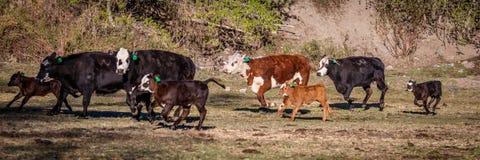 22 APRILE 2017, RIDGWAY COLORADO: Angus Hereford attraversa, correndo sul ranch centennale, Ridgway, Colorado che un ranch di bes Fotografia Stock