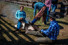 22 APRILE 2017, RIDGWAY COLORADO: I cowboy marcano a caldo il bestiame sul ranch centennale, Ridgway, Colorado - un ranch con l'i Fotografia Stock