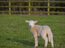 Apring lamb. Young spring lamb in field stock photo