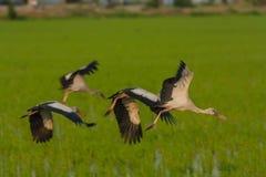 L'ibis aperto della fattura Fotografie Stock