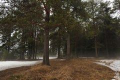 Aproximação amigável na floresta do taiga fotografia de stock