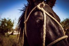 Aproximação da cabeça de um cavalo preto amarrado com cordas imagem de stock