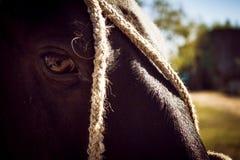 Aproximação da cabeça de um cavalo preto amarrado com cordas imagens de stock royalty free