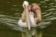Aproximação do pelicano branco Fotografia de Stock