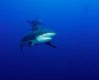 Aproximação do tubarão Fotografia de Stock