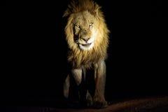 Aproximação masculina do leão Fotografia de Stock Royalty Free