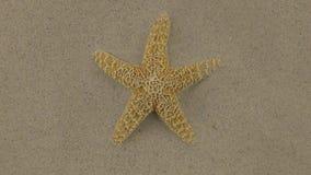 Aproximación de las estrellas de mar que mienten en la arena, enfoque almacen de metraje de vídeo
