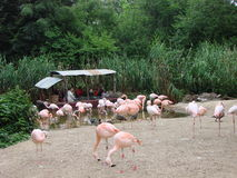 Aproximar-se flamingos fotografia de stock