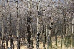 Apsens no parque nacional de montanha rochosa, Colorado Fotos de Stock
