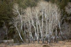 Apsens In Rocky Mountain National Park, Colorado Stock Image