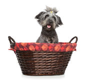 apsokorghund wattled lhasa arkivfoto