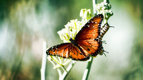 Apt Pupil. A Monarch and a Caterpillar having fun in the sun Royalty Free Stock Photo