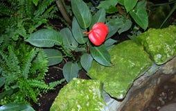 Aptekarsky ogorod, Moskwa, Rosja: tropikalny kwiat Lapriore Obrazy Stock