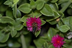 Aptenia cordifolia in alicante spain royalty free stock photos