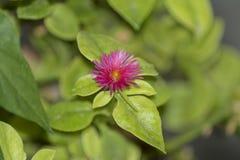 Aptenia cordifolia i alicante Spanien royaltyfri foto