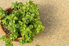 Aptenia cordifolia Stock Images