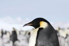aptenodytes cesarza forsteri pingwin Fotografia Stock
