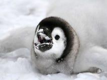 aptenodytes forsteri αυτοκρατόρων penguin Στοκ Φωτογραφία