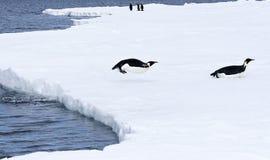 aptenodytes forsteri αυτοκρατόρων penguins Στοκ εικόνα με δικαίωμα ελεύθερης χρήσης