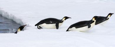 aptenodytes forsteri αυτοκρατόρων penguins Στοκ Εικόνες